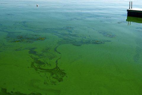 blue-green algae floating on a lake surface