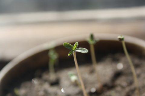 Hemp CBD seedling